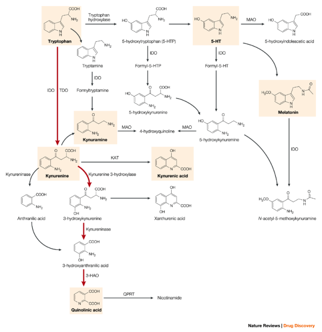 Figure 1. Kynurenine Pathway.  Tryptophan can be converted into 5-HTP or kynurenine.  Pro-inflammatory cytokines can activate the enzyme indoleamine 2,3-dioxygenase (IDO) and shunt tryptophan away from conversion to 5-HTP into the kynurenine and quinolinic acid pathway.