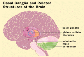 Figure 1.  Basal ganglia and related structures of the brain.  Image from Henkel, 1998.