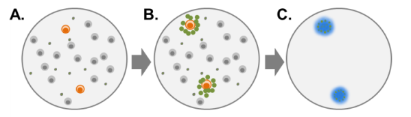 Figure 2: When peripheral blood mononuclear cells (PBMCs) from a B. burgdorferi-infected patient are exposed to B. burgdorferi protein antigens (A), B. burgdorferi-specific T cells are activated and secrete small proteins called cytokines (B). T cells that are not specific for B. burgdorferi do not become activated.  iSpot Lyme™ measures the cytokine IFN- secreted by the patient's T cells. Cytokine proteins (IFN-gamma) are captured near the cells that secreted them and are then detected using a color reagent (C).