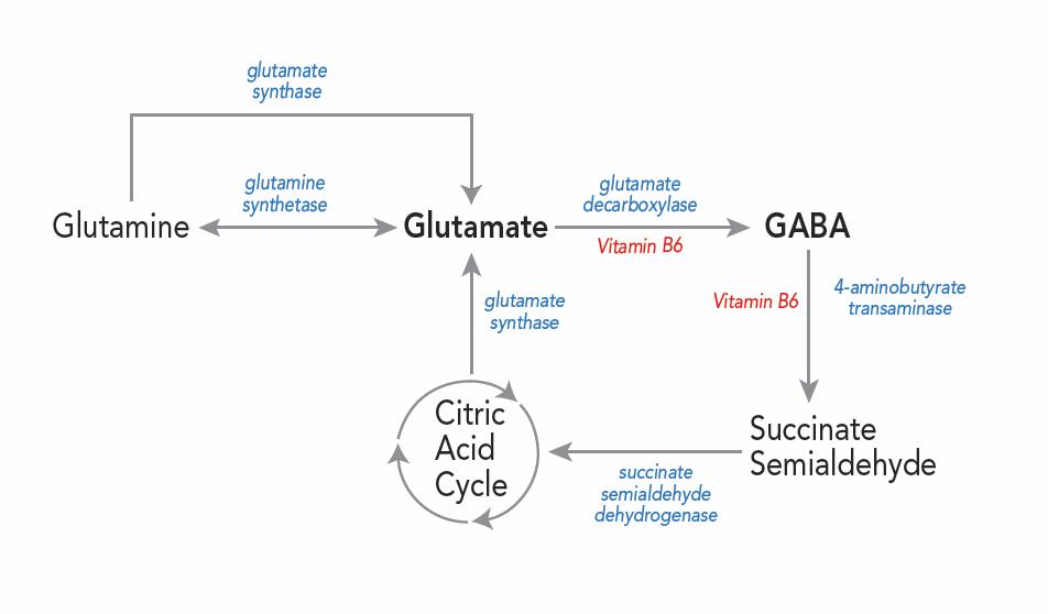 glutamine glutamate relationship