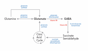 Figure 1. Glutamate is the biological precursor for GABA.  Glutamate is synthesized from the nonessential amino acid glutamine, and glutamate is converted into GABA by the enzyme glutamate decarboxylase.  Glutamate decarboxylase uses Vitamin B6 as a cofactor.
