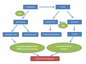 Figure 1.  The activated IDO enzyme shunts tryptophan dow the kynurenine pathway to kynurenic acid as well as increasing serotonin breakdown leading to depressive-like behavior.  Adapted from Corona 2013.