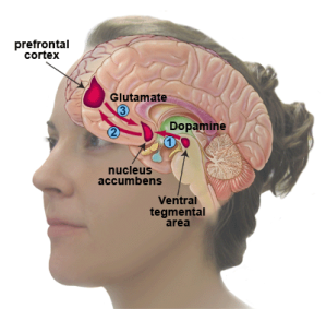 Figure 1. Dopamine and glutamate are key players in the neurocircuitry of addiction.
