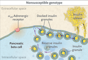 Figure 1. Normal function of a pancreatic beta cell involves insulin granules docking at the edge of the cell to release insulin in the extracellular space (Gribble, 2010).