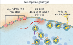 Figure 2. The susceptible genotype for adrenergic diabetes has increased numbers of α2A-adrenergic receptors on pancreatic beta cells.  This inhibits the docking of insulin granules preventing the release of insulin (Gribble, 2010).