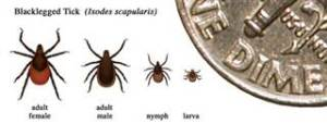 Adult ticks are approximately the size of a sesame seed.