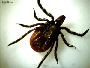 Lyme disease may be ten times more common than previously reported, the CDC says.