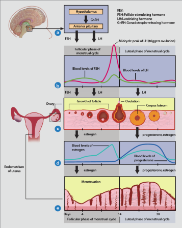 Figure 1. Neuroendocrine signaling of the female reproductive cycle. (a) The hypothalamus secretes gonadotropin releasing hormone (GnRH) which signals the anterior pituitary to secrete follicle stimulating hormone (FSH) and luteinizing hormone (LH). (b) FSH levels peak around day 3 of the menstrual cycle, and LH spikes around day 14, which signals for ovulation to occur. (c) During the follicular phase, FSH stimulates the growth and development of the follicle.  Around day 14, the follicle ruptures, releasing the egg.  In the luteal phase, the ruptured follicle forms the corpus luteum which secretes progesterone. (d) During the follicular phase, estradiol peaks around day 12 and progesterone peaks on day 21 of the luteal phase.  (e) Estrogen secretion throughout the follicular phase causes the build-up of the endometrial lining.  In the luteal phase, progesterone prepares the uterus for embryo implantation.