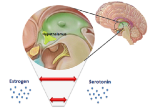 Figure 3. Estradiol and serotonin have been shown to work together in the hypothalamus to regulate the thermoregulatory set point.