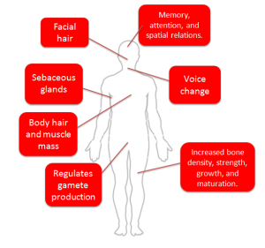 Figure 1. Testosterone plays many different roles in the body.