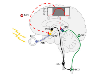 Figure 1. Light is absorbed through the retina and signals down the pathway to the superior cervical ganglion which uses norepinephrine to signal the pineal gland to synthesize melatonin. Image from Stehle, 2011. Abbreviations: RET-retina, RHT-retinohypothalamic tract, SCN-suprachiasmatic nuclei, PVN-paraventricular nuclei, IMC-intermediolateral column of the spinal cord, SCG-superior cervical ganglion, NE-norepinephrine, PIN-pineal gland, MEL-melatonin