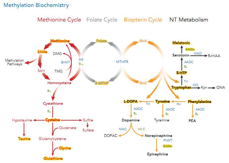 http://neuroendoimmune.files.wordpress.com/2014/01/methylation-cycle.png