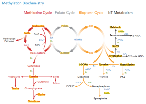 Figure 1. Methylation biochemistry is the result of close communication between the methionine, folate, and biopterin cycles and plays a role in many biological processes.