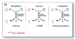 Figure 1. BH4 is a necessary cofactor for the conversion of tryptophan to 5-HTP, phenylalanine to tyrosine and tyrosine to L-DOPA.
