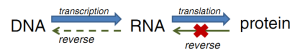 Figure 1: The Central Dogma of Biology was coined by Francis Crick in 1953 to illustrate the flow of genetic information. First, DNA is used as a template to create a complimentary strand of ribonucleic acid (RNA) through a process called transcription. This RNA template is then used to create a protein by stringing together amino acids in a process called translation.