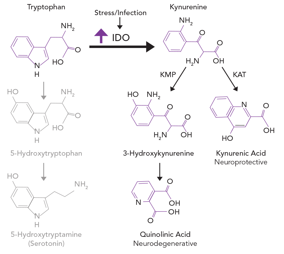 can synthesise Amino acid synthesis is the set of biochemical processes (metabolic pathways) by which the various amino acids are produced from other compounds the substrates for these processes are various compounds in the organism 's diet or growth media.