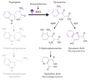 Figure 1. Immune upregulation can shunt tryptophan away from the serotonin pathway and into the kynurenine pathway.