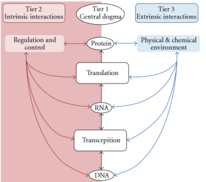 Figure 1: The flow of information from DNA to protein is largely influenced by regulatory factors acting on the processes of transcription and translation. Environmental factors also influence protein expression.