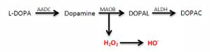 Figure 1. The breakdown of dopamine by MAOB creates hydrogen peroxide and a hydroxide ion, both free radicals.
